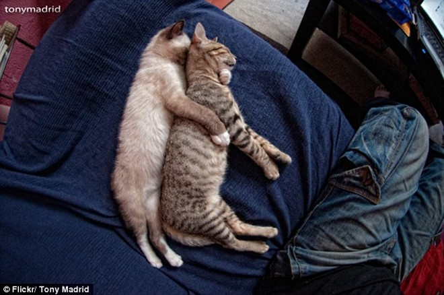 """Những tư thế ngủ """"khó đỡ"""" của các chú mèo ảnh 4"""