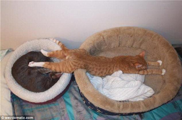 """Những tư thế ngủ """"khó đỡ"""" của các chú mèo ảnh 11"""