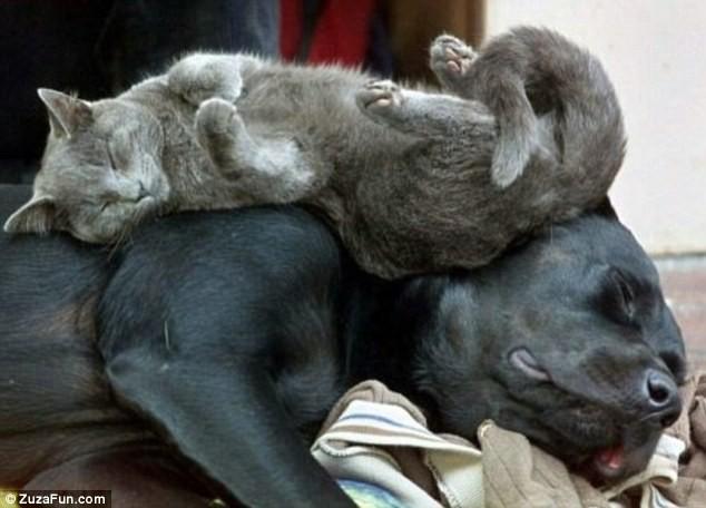 """Những tư thế ngủ """"khó đỡ"""" của các chú mèo ảnh 13"""