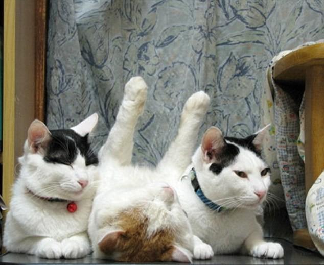 """Những tư thế ngủ """"khó đỡ"""" của các chú mèo ảnh 14"""