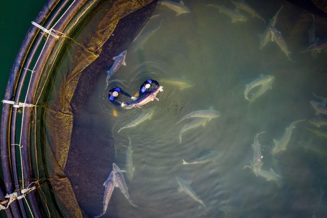 Cận cảnh trang trại độc quyền nhân giống cá tầm triệu USD tại Việt Nam ảnh 1