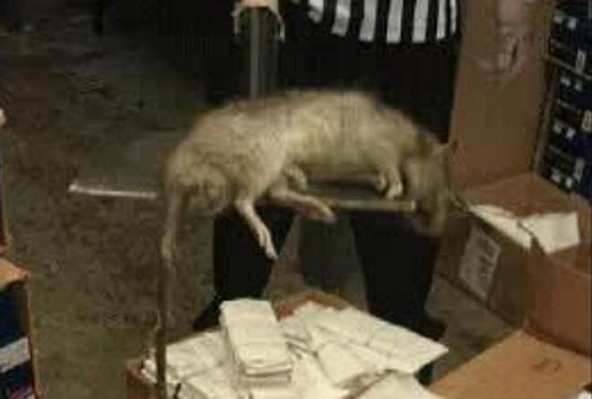 Kinh hãi với chuột khổng lồ dài gần 1m chết trong cửa hàng giày ảnh 1