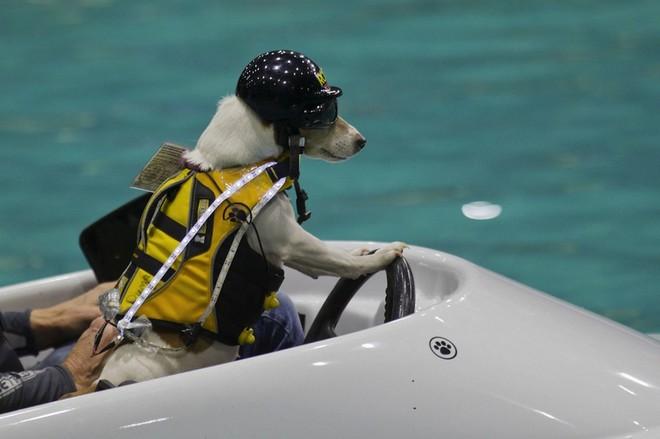 Con chó có khả năng lướt sóng, lái thuyền siêu đẳng ảnh 3