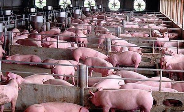 Việt Nam là quốc gia đầu tiên sắp nghiên cứu thành công vaccine dịch tả lợn châu Phi ảnh 1