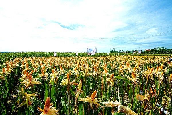 29 quốc gia đã canh tác cây trồng sinh học ảnh 1