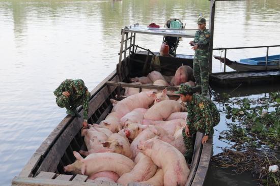 Ngăn chặn buôn lậu lợn qua biên giới để ổn định giá thực phẩm cuối năm ảnh 1