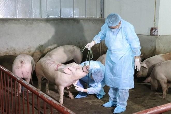 Cuối quý II-2021, Việt Nam sản xuất thương mại vaccine dịch tả lợn châu Phi ảnh 1