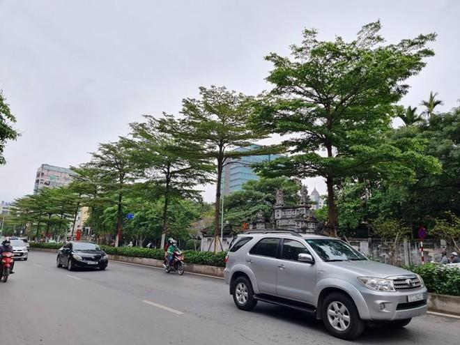 Vì sao phải thay thế cây phong trên trục đường Nguyễn Chí Thanh - Trần Duy Hưng? ảnh 2