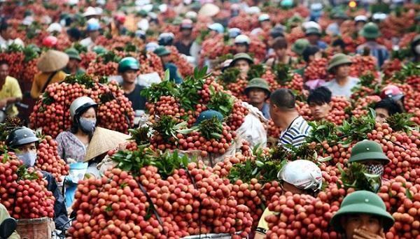 Cho phép 164 thương nhân Trung Quốc đến Bắc Giang thu mua vải thiều ảnh 1