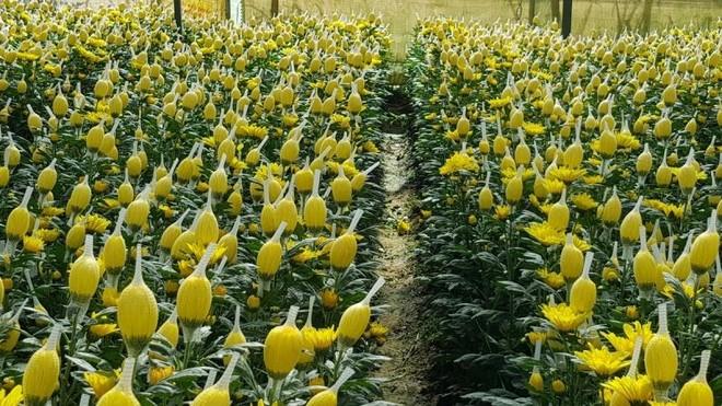 Vì sao Dalat Hasfarm phải tiêu hủy 700.000 cành hoa cúc xuất khẩu đi Australia? ảnh 1