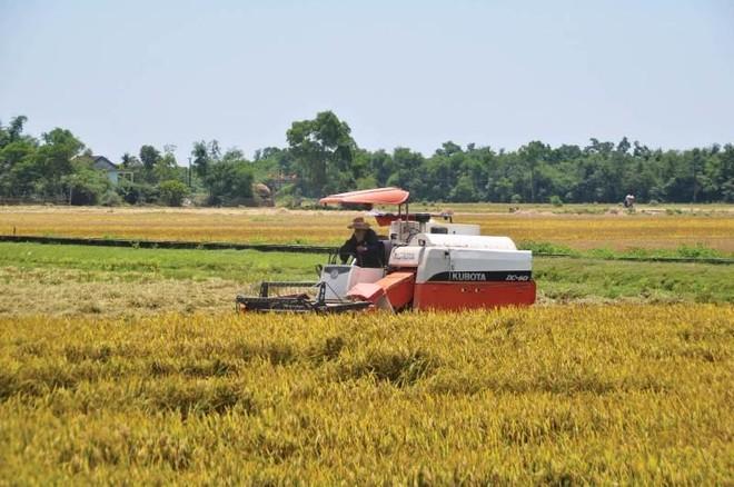 Kiến nghị tăng mua dự trữ quốc gia lúa Hè Thu để tránh trục lợi ảnh 1