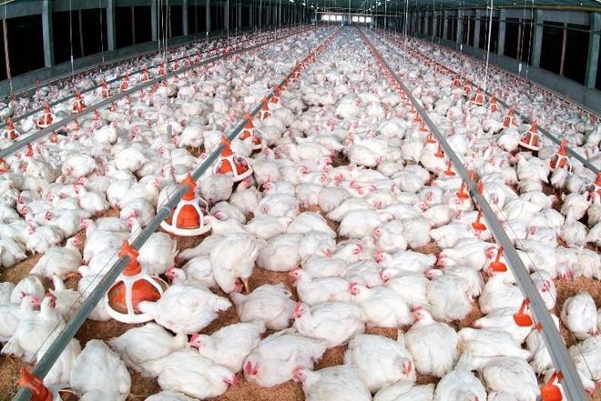 Gà công nghiệp còn 6.000 đồng/kg, dự báo thiếu thịt gia cầm dịp Tết Nguyên đán ảnh 1