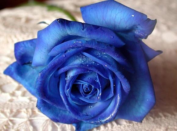 """Hoa hồng vàng, """"hàng độc"""" dành cho ngày 8-3 ảnh 4"""