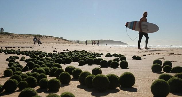 """Kỳ lạ """"những quả trứng xanh của người ngoài hành tinh"""" trên bờ biển Sydney, Úc ảnh 1"""