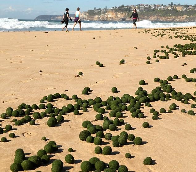 """Kỳ lạ """"những quả trứng xanh của người ngoài hành tinh"""" trên bờ biển Sydney, Úc ảnh 2"""