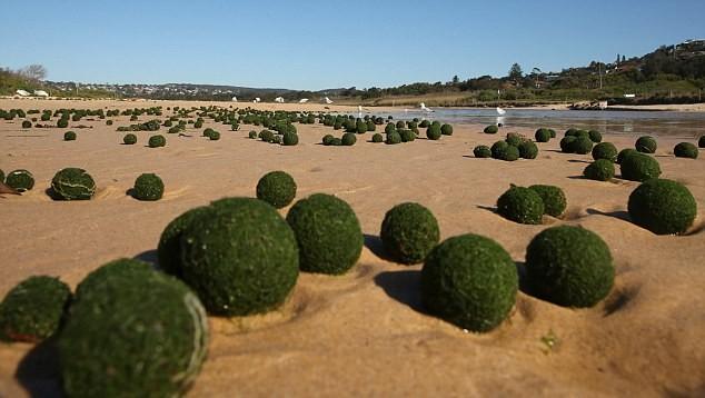 """Kỳ lạ """"những quả trứng xanh của người ngoài hành tinh"""" trên bờ biển Sydney, Úc ảnh 3"""