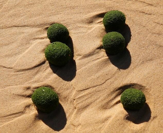 """Kỳ lạ """"những quả trứng xanh của người ngoài hành tinh"""" trên bờ biển Sydney, Úc ảnh 4"""