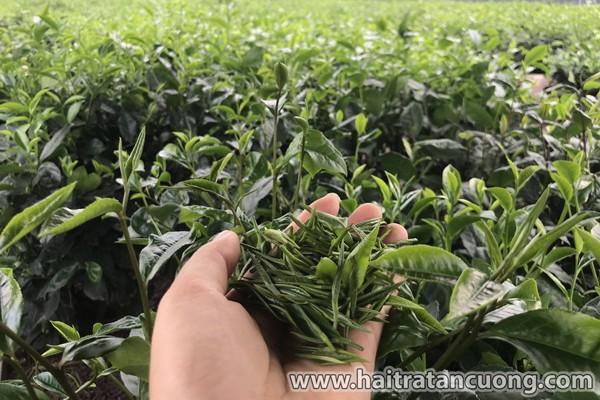 Cung cấp trà Thái Nguyên cho cơ quan, công ty, doanh nghiệp ảnh 1