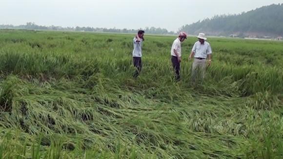 Lốc xoáy khiến hàng trăm ha lúa và hoa màu bị tàn phá ảnh 1