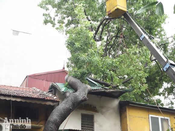 Hà Nội: Cây lớn bật gốc đổ vào nhà dân ảnh 1