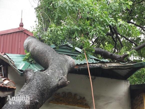 Hà Nội: Cây lớn bật gốc đổ vào nhà dân ảnh 2