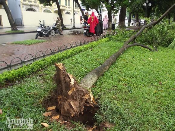 Hà Nội: Cây lớn bật gốc đổ vào nhà dân ảnh 7