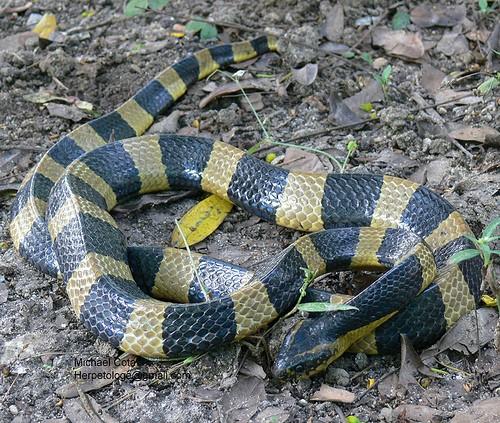 Nhận định và sơ cứu rắn độc cắn ảnh 3