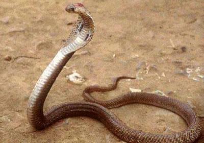 Nhận định và sơ cứu rắn độc cắn ảnh 2