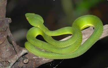 Nhận định và sơ cứu rắn độc cắn ảnh 1