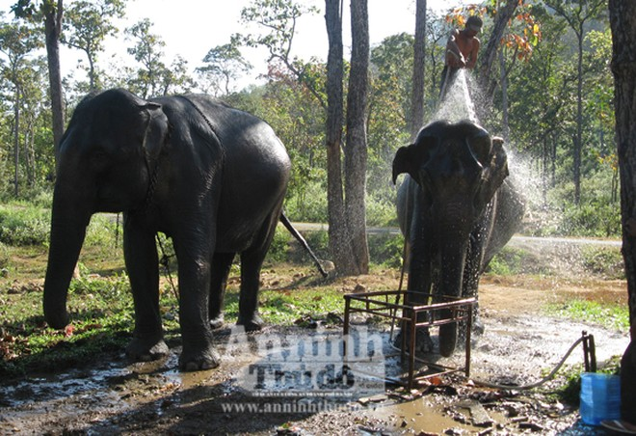 Bảo tồn voi Tây Nguyên: Vẫn nói nhiều và làm trên... giấy ảnh 3