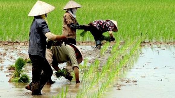 Sẽ quản chặt đất trồng lúa ảnh 1