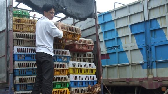Gà thải loại, nhập lậu từ Trung Quốc hoành hành: Chẳng lẽ bó tay? ảnh 1