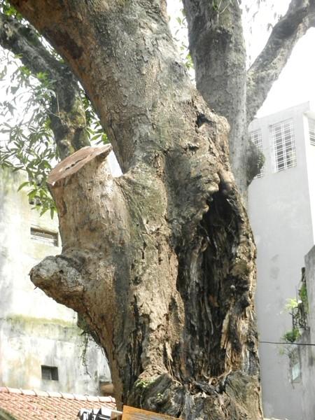 """9 cây muỗm nghìn tuổi ở đền Voi Phục """"kêu cứu"""" ảnh 2"""