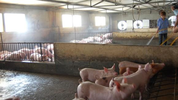Chăn nuôi khó khăn, thức ăn vẫn tăng giá ảnh 1