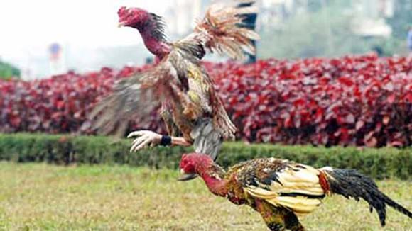 Chọi gà thời nay ảnh 1