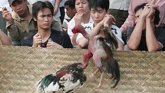 Chọi gà thời nay ảnh 3