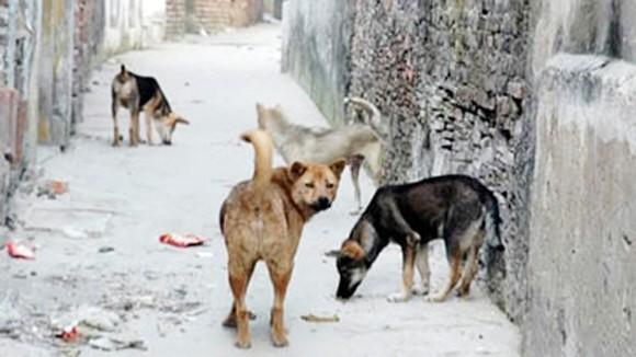 Nhiều địa phương có đàn chó nghi dại cắn người ảnh 1