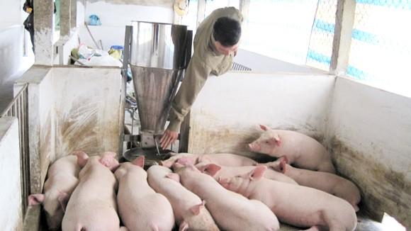 Thương lái Trung Quốc ồ ạt mua lợn mỡ: Bất thường, nhiều rủi ro ảnh 1