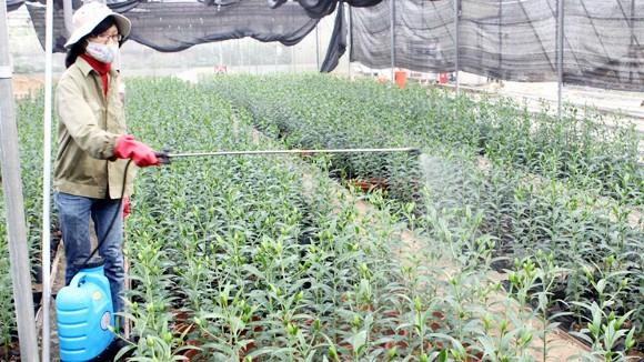 Người trồng hoa thấp thỏm trông thời tiết ảnh 1