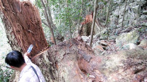 Nhức nhối nạn buôn thớt gỗ nghiến: Tiếp tay cho lâm tặc ảnh 2