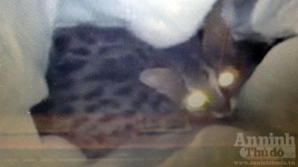 Giải cứu mèo rừng từ tay dân buôn ảnh 3