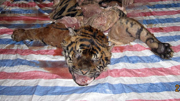Cận cảnh vụ xẻ thịt hổ dã man trong bóng tối ảnh 13