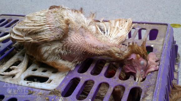 """Hình ảnh gà chết... cố """"lết"""" lên bàn nhậu ở Thủ đô ảnh 6"""