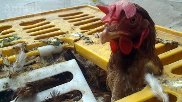 """Hình ảnh gà chết... cố """"lết"""" lên bàn nhậu ở Thủ đô ảnh 2"""