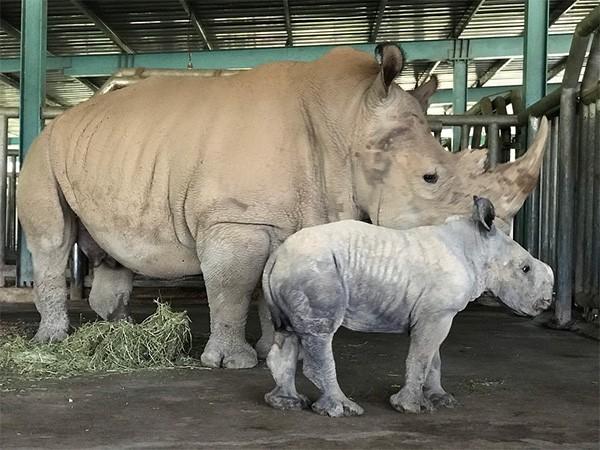 Kỷ lục 4 tê giác con chào đời trong vòng 16 tháng tại Vinpearl Safari ảnh 2