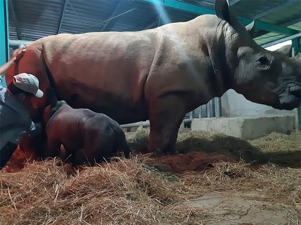 Kỷ lục 4 tê giác con chào đời trong vòng 16 tháng tại Vinpearl Safari ảnh 3