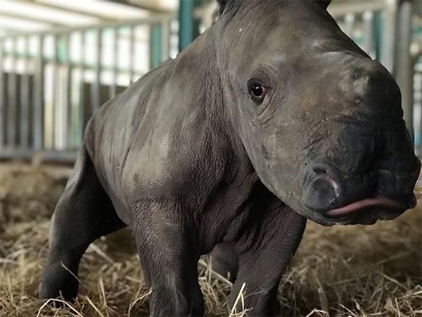 Kỷ lục 4 tê giác con chào đời trong vòng 16 tháng tại Vinpearl Safari ảnh 5