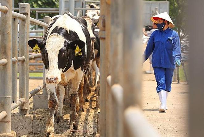 Vững đà tăng trưởng, TH true MILK đón đàn bò sữa cao sản nhập khẩu đầu tiên trong năm 2021 ảnh 1