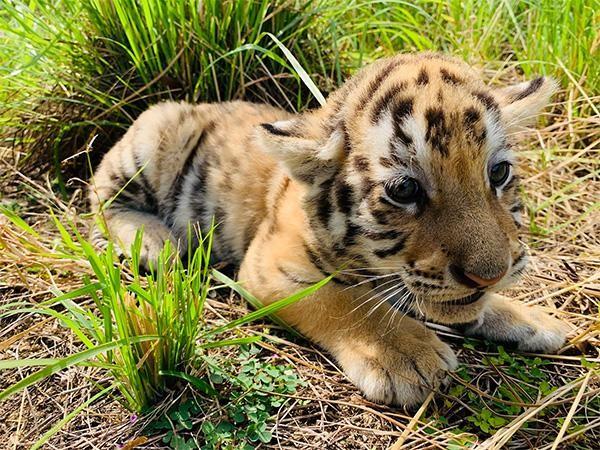 """""""Dân mạng"""" phấn khích với chú hổ Bengal đáng yêu """"hết nấc"""" tại FLC Zoo Safari Park Quy Nhon ảnh 4"""