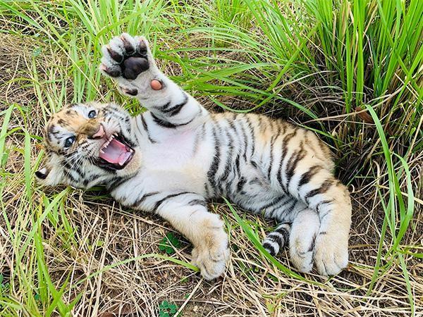 """""""Dân mạng"""" phấn khích với chú hổ Bengal đáng yêu """"hết nấc"""" tại FLC Zoo Safari Park Quy Nhon ảnh 5"""